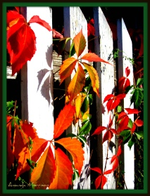 Virginia Creeper basking in the September sun.