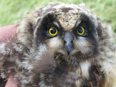 Short-Eared Owl Chick