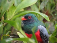 Slaty-tailed Trogon at 100ft above the forest floor