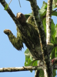 The Three-Toed Sloth sprawls out high up in the tree branches, soaking up the sun.