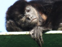 A Howler Monkey lazily looks at me from his perch high up on the bridge.