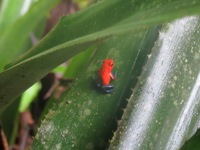 A Strawberry Poison Dart Frog sits motionless on a leaf.