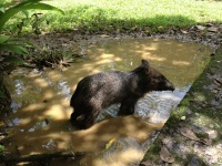 The peccary wades into a mud puddle and stands there for awhile.